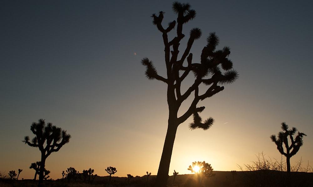 Joshua Tree National Park 3 - Bongo via Visit California