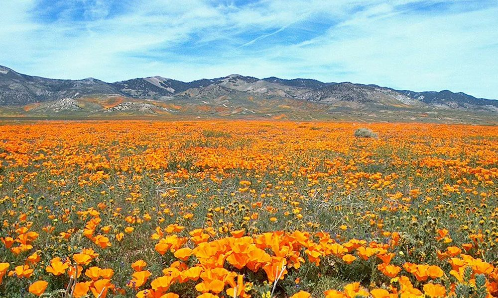 Super Bloom - Pixabay