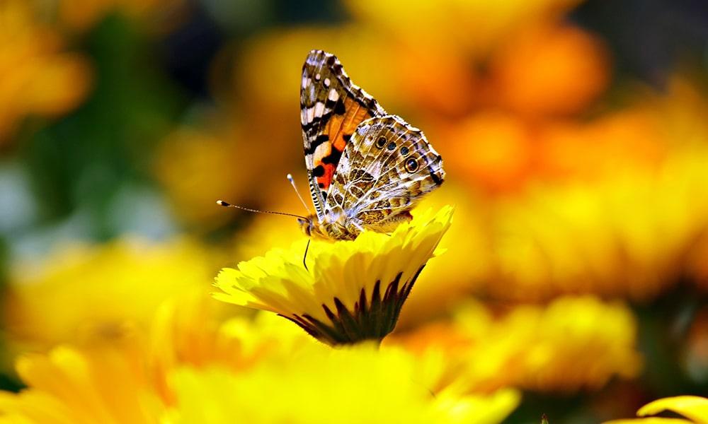 Vlinder - Pixabay
