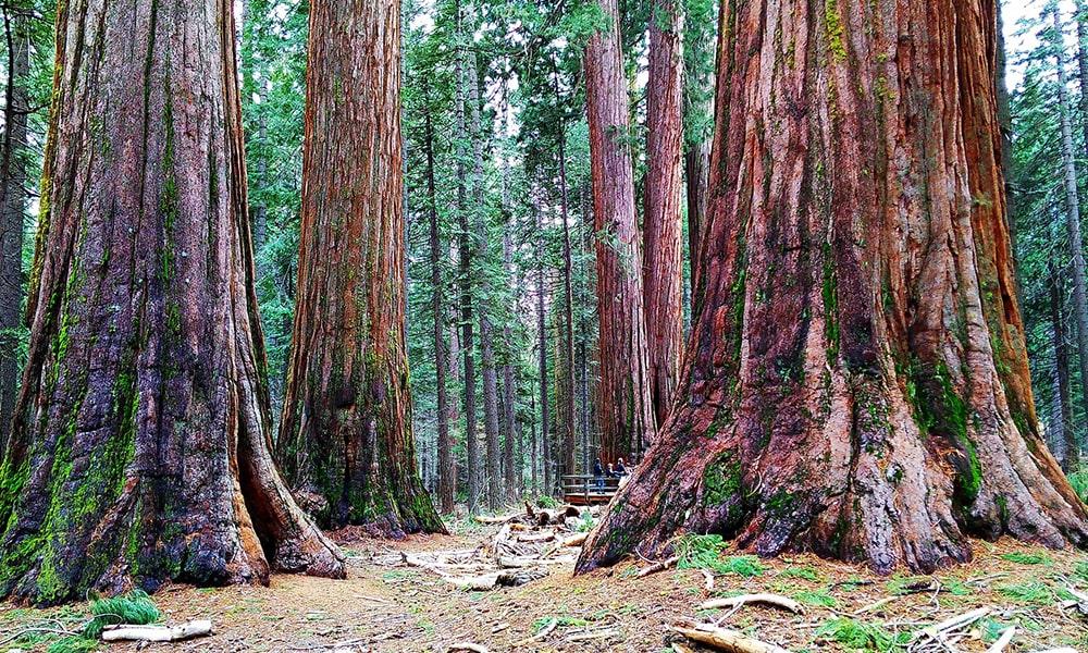 Sequoia's - Pixabay-min