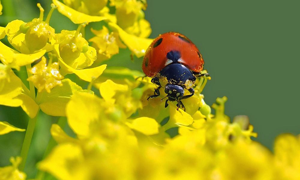 Lieveheersbeestje - Pixabay