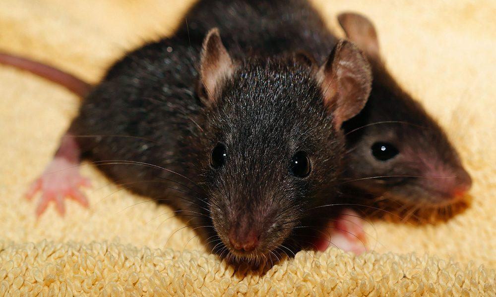 Ratten - Pixabay
