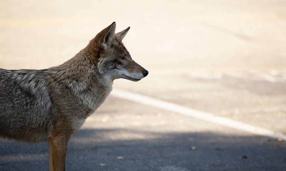 Coyote - Unsplash