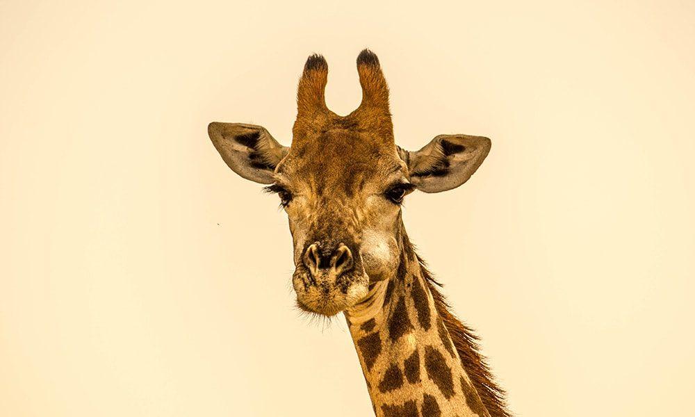 Giraffe - Unsplash-min