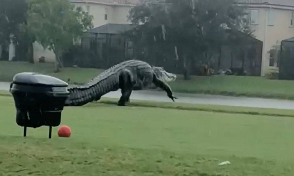 Alligator - Fair Use