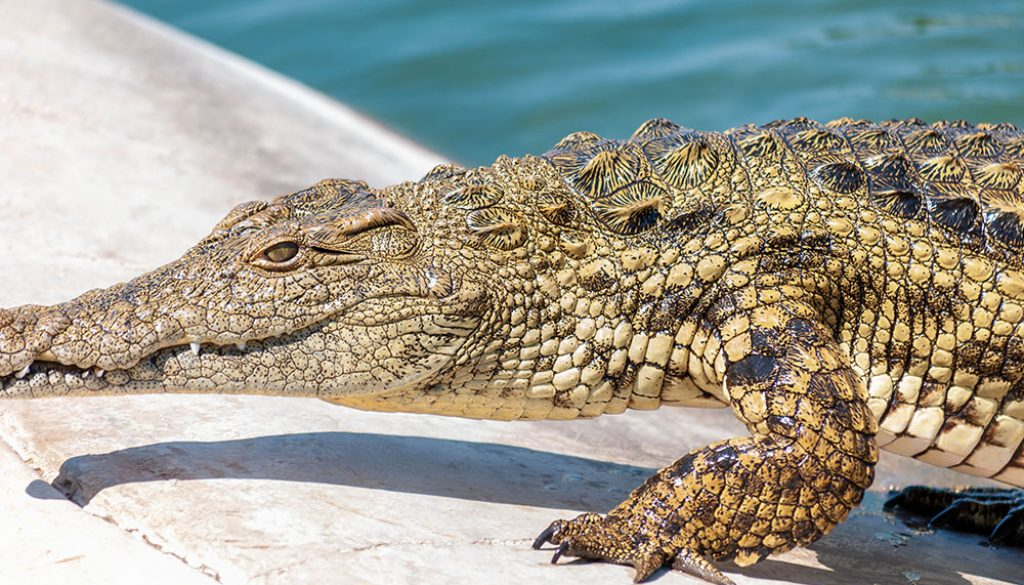 Alligator - Unsplash