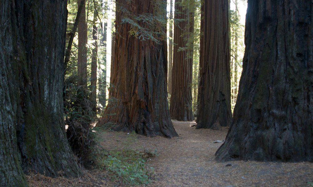 Redwoods - Unsplash