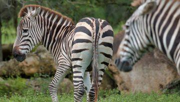 Zebra - Unsplash
