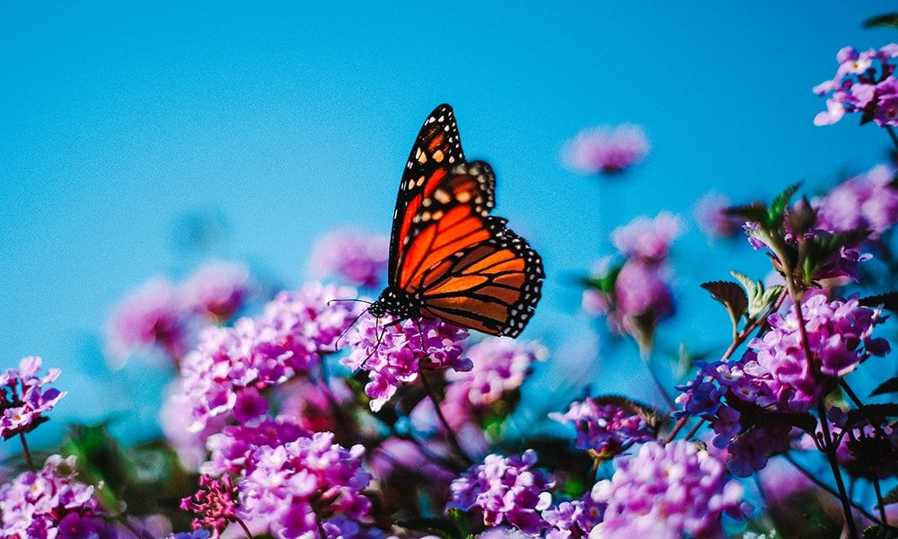 Vlinder - Unsplash